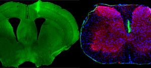 Transferencia mediante vesícula entre células gliales y axones